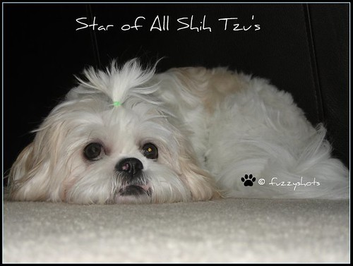 Star of All Shih Tzu