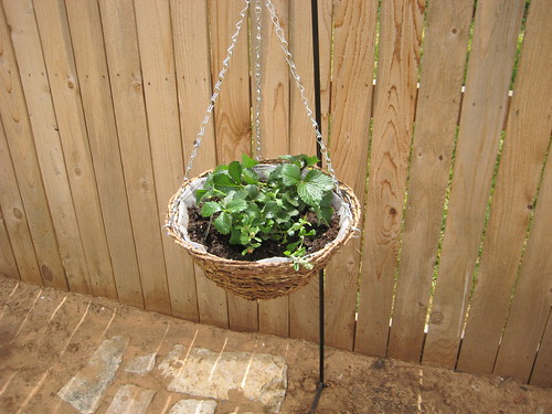 Strawberry Plant in hanging pot
