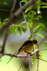 Sunbird-5 (Hor) Tags: sunbird