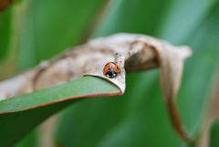 てんとう虫 (invisibleA) Tags: insect d60 虫 てんとう虫