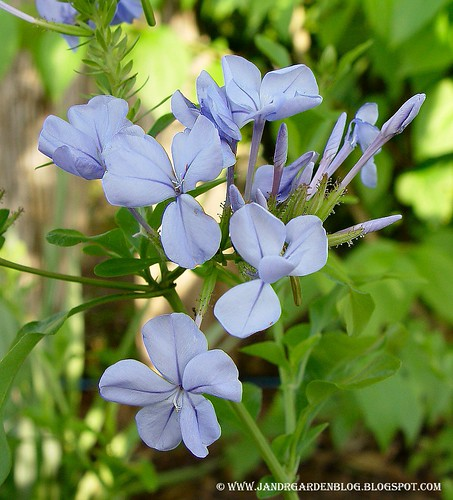 Hardy Blue