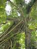 96.11.16竹崎鄉光華村茄苳風景區內的茄苳老樹DSCN3196