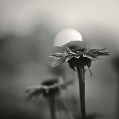 (Wendine) Tags: flowers bw nature closeup lowlight nikon dusk nightfall wideopen d300 50mmf12ais natureycrap echinesea