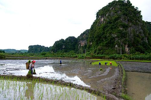 Hmong people planting rice in Vieng Xai, Hua Phan, Laos