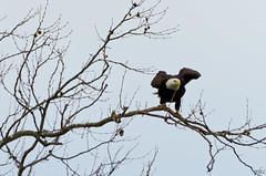 Settling (Man_K5) Tags: eagle baldeagle sky usa maryland scenic bird conowingo darlington nikond7000 sigma150500 telephoto wildlife raptor