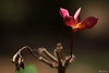 Chafa, Maharashtra Nature Park, Mahim (_quasi) Tags: park flower macro nature sigma maharashtra 90mm mahim chafa