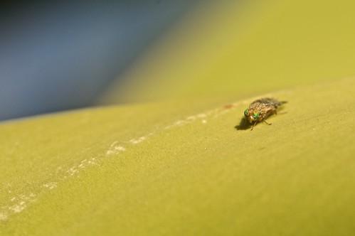mosca marciana
