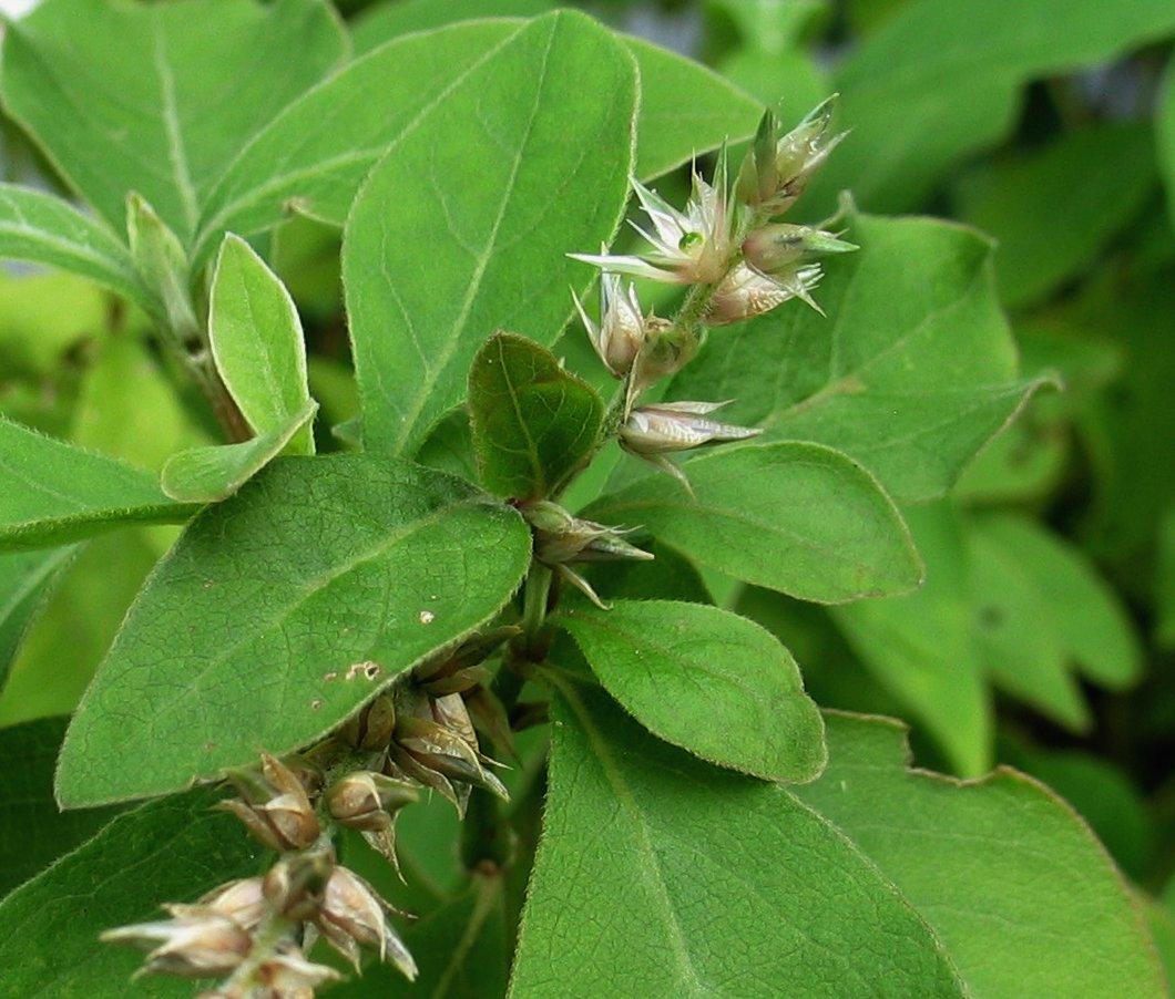 Achyranthes mutica image