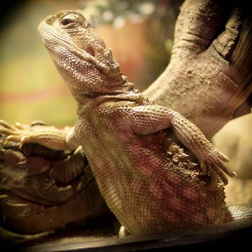 Model lizard