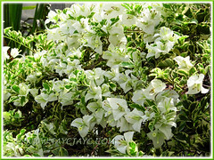 Bougainvillea 'White Stripe' with white bracts and variegated foliage