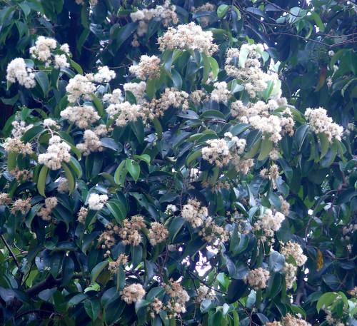 Syzygium_grande-flowers05.jpg