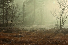 Trollskogen (balsamia) Tags: morning trees sun mist forest skog 70200mm 2h motlys anawesomeshot flickrdiamond