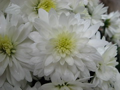 White Flowers (DP|Photography) Tags: flowers india flower macro orissa macroflowers flowercloseups flowerpictures debasis closerandclosermacrophotography debashis flowerphotography debasish debashish flowerpicturesnolimits debashispradhan photosbyinfoscion dpphotography odisha dp|photography
