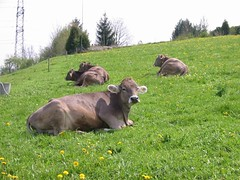 Brown Swiss, 2002 (kbrookes) Tags: switzerland cows brownswiss