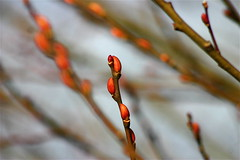 (mightyquinninwky) Tags: red geotagged bush dof bokeh kentucky award explore western buds simple limb invite soe budding westernkentucky naturesfinest unioncountykentucky ohiorivervalley goldenmix shieldofexcellence morganfieldkentucky superbmasterpiece geo:lon=87905452 geo:lat=37693236 wonderfulworldmix macromix exploreformyspacestation bestofformyspacestation