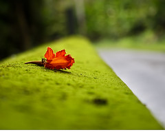 Love Lies Bleeding (Bill Adams) Tags: bridge flower hawaii moss searchthebest blossom mg explore eltonjohn bigisland canonef2470mmf28lusm loveliesbleeding youtube onomea spathodeacampanulata africantuliptree mywinners youtubr