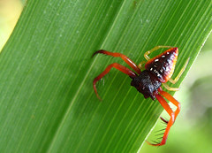 Arcys cornutus (Jan Tilden) Tags: spider wildlife invertebrate arkys araneidae fotocompetition fotocompetitionbronze