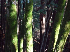 Mossy Trees (FallOutBoy) Tags: trees tree moss mossy
