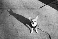 Sit Tall (Angela.) Tags: shadow blackandwhite bw dog chihuahua digital canon rebel blackwhite raw lulu chi canonef35mmf2 img5587 xti 400d canondigitalrebelxti
