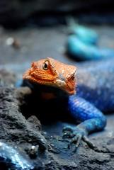 Checkin Me Out (swilton) Tags: blue orange animal zoo nikon sandiego reptile lizard iso1600 agama redheadedrockagama d40x 55200mmvr photofaceoffwinner pfogold