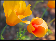 California Poppy (양귀비) (Shisun) Tags: arizona flower macro poppy 花 saguarolake 꽃 tontonationalforest 양귀비 pentaxk10d 楊貴妃