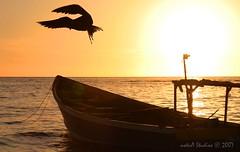 ...a whitehouse sunset (notnA) Tags: sunset bird boat whitehouse jamaica caribbean frigate birdsilhouette whitehousefishingvillage mywinners aplusphoto