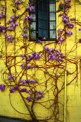 Wisteria Wall (greg hefner) Tags: sanfrancisco flowers red yellow wall vines purple foundinsf guesswheresanfrancisco gwsf