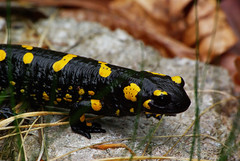 Salamandra pezzata (max zambon) Tags: animals giallo nero salamandra dolomiti rettile pentaxk10d