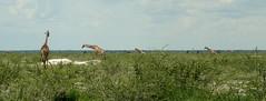 Giraffe Flashmob