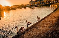 The Hamptons (Coisroux) Tags: cygnets swans sunshine golden warmth hamptons peterborough houses habitat reflections glimmer waterside path curved nature bridges suburbia luminescent d5500 nikond urbanlife