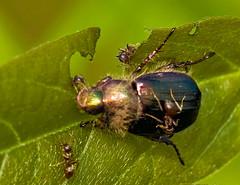 Japanese Beetle Beset By Ants (aeschylus18917) Tags: macro nature japan insect tokyo nikon g ant beetle micro   prey nikkor predator f28 vr coleoptera japanesebeetle koma 105mm hymenoptera predation  insecta  kabutomushi 105mmf28 popillia scarabaeidae apocrita formicidae rutelinae  105mmf28gvrmicro polyphaga vespoidea scarabaeoidea d700 popillajaponica nikkor105mmf28gvrmicro  scarabaeiformia anomalini  danielruyle aeschylus18917 danruyle druyle