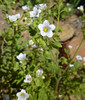 unknown - nemophila?
