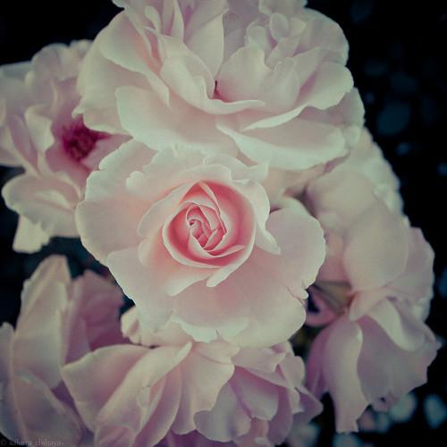 15656 Rose2011 #4