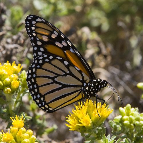 Monarch Butterfly (Danaus plexippus) monarch-butterfly_2 by mikebaird.