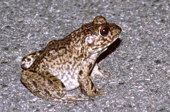 River Frog on road, SE Georgia, USA