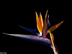 _`^'\ (Paco CT) Tags: flower flor vegetal 2007 strelitziareginae avedelparaso mywinners ltytr1 superbmasterpiece pacoct