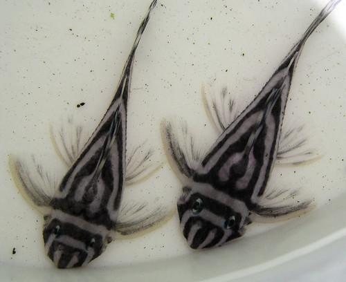 Catfish Hypancistrus zebra from Xingu River by susanne.lajcsak, on Flickr