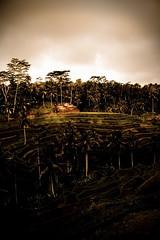 Tegallallang II (Carolina Rybergs photos) Tags: bali landscape toned tegallallang