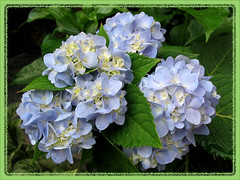 Another new clusters of Mophead Hydrangea, captured October 30, 2007