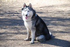 Durty Dawg (Jasen Miller) Tags: dog pet pets cute dogs hair puppy puppies husky colorado long mush coat einstein longhair huskies siberianhusky awww siberian wooly mushing aboyandhisdog cannine sibe sibes nikond40x abhd woolycoatsiberianhusky