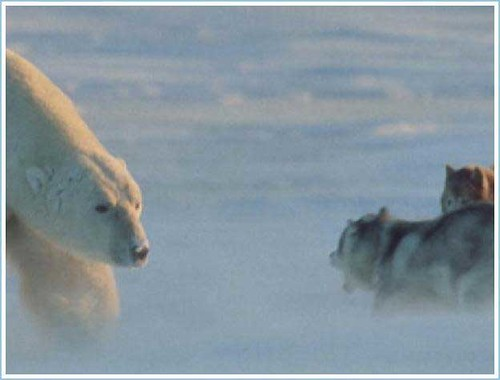 Polar Bear and Husky 1