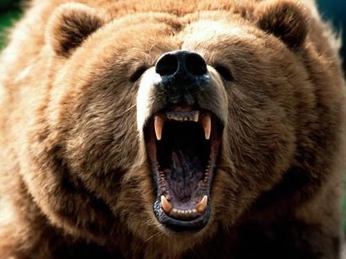 bear snarling.jpg