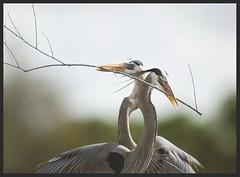 Building A Nest (billkominsky ) Tags: nature birds oneofakind wildlife wetlands everglades wading specnature spectacularnature excellentphotographerawards mykindofpicturegallery
