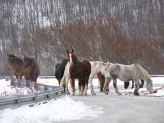 cavalli (psychodogs) Tags: road horses snow strada neve inverno belli montagna cavalli abruzzo colorati liberi provinciale autogestione pacifici