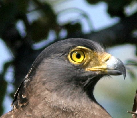 crested serpent eagle 030108 b r hills