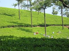 Tea pickers busy plucking the tea leaves (kartiksurbhi) Tags: kerala teaplantation munnar teapickers