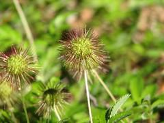 Flor (Amor Seco) (ricardo vallejos) Tags: chile flor ricardovallejos amorseco