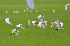 egret_BIF (Rey Sta. Ana) Tags: wild bird birds wildlife philippines manila rey avian palawan wildbirds mantarey candaba staana