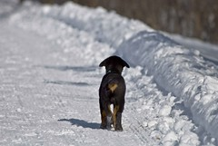 Puppy  Exploring (riclane) Tags: dog puppy walk hike trail gatineau rearview rottweiller gatineaupark platinumphoto betterthangood theperfectphotographer