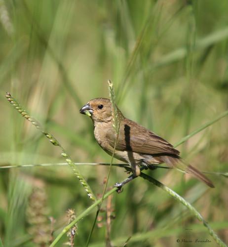 F?ea de Coleiro-baiano - Papa-capim-capuchinho - Female of a Yellow-bellied Seedeater (Sporophila nigricollis) - 2 - 180 - 21-03-2008 743
